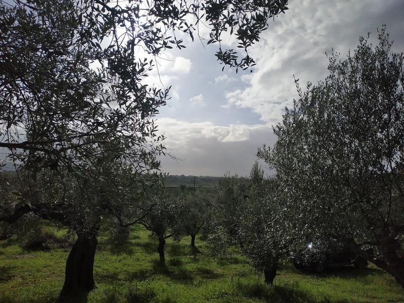 Olivenhain zum verkaufen in Tragana Messenien Peloponnes