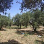 Αγροτεμάχιο προς πώληση στο Ρωμανό Μεσσηνίας Πελοπόννησος